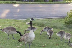 Canada Geese – Leadership on the Wing