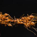 Self-Organizing Ants
